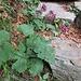 Adenostyles glabra (Mill.) DC.<br />Asteraceae<br /><br />Cavolaccio verde.<br />Adénostyle glabre.<br />Grüner Alpendost.