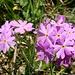 sehr gefällige, uns einnehmende, Primel-Blüten