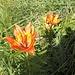 <b>Lilium bulbiferum.</b>