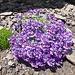Alpenleinkraut, eins von den vielen Polstern, die gerade blühen.