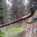 Jetzt im Aletschwald. Ein Urwald.