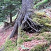 grosses Wurzelwerk mit Durchblick auf dem weglosen Wiederanstieg zum bewaldeten Gratrücken