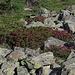 Alpenrosen über der  Waldgrenze