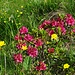 Die Alpenrosen blühen.
