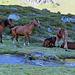 """eine Herde schönster Pferde säumen den Wanderweg, diese werden gehalten wie Kühe und sind vom Wanderweg nicht getrennt, also in freier """"Wildbahn"""" - sehr schöne herausgeputzte Pferde."""