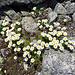 auch auf 3000 Meter hat es noch schöne Blumen, Part 1