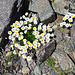 auch auf 3000 Meter hat es noch schöne Blumen, Part 2