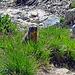 auf dem Wanderweg von der SAC Hütte, Chamanna da Grialetsch, nach dem Dürrboden hatte es einige Murmeltiere zu beobachten, eines stand etwa 20-30 Meter vor mir am Wegrand, ich bin sofort still gestanden und habe mich nicht mehr bewegt, das Murmeltier kam auf dem Wanderweg immer weiter auf mich zu .....