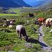 Kühe zwischen den Alpenrosen versperren den Wanderweg, hoffentlich sind sie nicht aggressiv