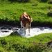eine Kuh nimmt ein Bad im Gletschtällibach