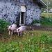 Piglets at Dürrboden.