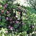 am Schatten blühen noch Alpenrosen