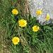Doronicum clusi  Asteraceae