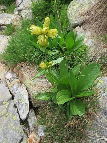 Gentiana punctata L.<br />Gentianaceae<br /><br />Genziana punteggiata.<br />Gentiana ponctuée.<br />Getüpfelter Enzian.