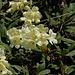Blüten vom Kaukasusrhododendron (Rhododendron caucasicum).