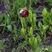 Breitglocken-Schachblume (Fritillaria latifolia).