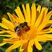 Eine fleißige Biene bei der Arbeit.