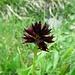 Schwarzes Männertreu (Nigritella nigra)