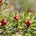 This seasons pine cones