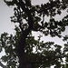 """Vertikales Baumpanorama.<br />Hier lohnt sich auch ein Blick in die Ansicht [http://f.hikr.org/files/2419302.jpg Originalgröße].<br />Dann im Bild auf das """"+"""" klicken und langsam von unten nach oben durchscrollen."""