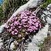"""schönes Arrangement auf Fels: Alpenblumen auf """"[https://www.infoflora.ch/de/lebensraeume/phytosuisse/41212-salicetum_retuso-reticulatae.html Alpenbaum]"""""""
