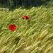Mohnblumen im Weizenfeld