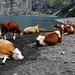 Weitere Kühe, die das Leben auf der Alp geniessen ;-)