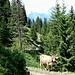 Die Kühe hier oben haben ungewöhnliche lange Hörner
