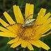 Die Eichblatt-Kreuzspinne, Aculepeira ceropegia, hat ihr Nest gleich in die Blume gebaut / ha costruito la sua ragnatela direttamente nel fiore