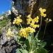 auch Flueblüemli bereichern die Blumenpalette