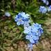Non ti scordar di me, il mio fiorellino preferito, l' azzurro del cielo a ingentilire l' aspro mondo minerale.