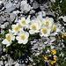 prächtige Alpenflora 2
