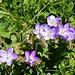gefällig auch diese Alpenblumen