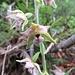 Breitblättrige Stendelwurz (Epipactis helleborine)