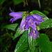 Im Wald geblitzt: taufrische Riesen-Glockenblume