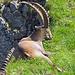 vom Hüenerbergsattel bin ich ein Stück in Richtung Hüenerberg gelaufen um zu schauen wie der Grat ausschaut und hinter der ersten Erhebung liegen zwei Steinböcke im Gras die es sich an der Sonnen gemütlich machen, - was für ein schöner Anblick! sehr schöne Steinböcke.