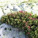 <b>Rhododendron ferrugineum.</b>