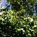 Die leicht giftigen Beeren des Efeu (Hedera helix) reifen im Winter und bieten zusammen mit den immergrünen Blättern einen interessanten Blickfang im sonst noch überwiegend kahlen Wald.
