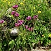 Pedicularis rostrato-capitata (kopfiges Läusekraut)