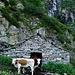 Gias Nuovo: die Rinder passen gerade durch die niedere Tür