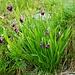 Allium insubricum (Südalpen-Lauch)