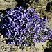 Campanula cenisia (Mont-Cenis-Glockenblume)