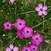 Dianthus sylvestris (Stein-Nelke)