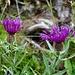 Centaurea jacea ssp. gaudinii (Gaudins Wiesen-Flockenblume)