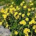 Helianthemum nitidum (Kahles Sonnenröschen