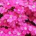 ... mit üppig-intensivem Blumenrosa