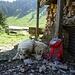 gut beschützt werden wir auf Le Sapalet von einem Herdenschutzhund ;-)
