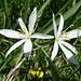 ... und Liliaceae