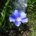 nicht sehr häufig gesehen, diese feine Blume