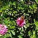 Alpenrosen mit Besucher